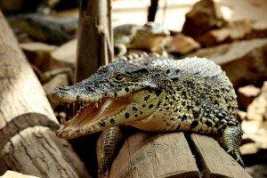 crocodylus-rhombifer-crocodile-de-cuba-2